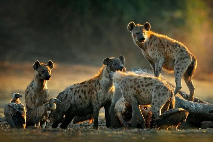 Spotted Hyenas on Elephant carcass shutterstock_1538967266.jpg