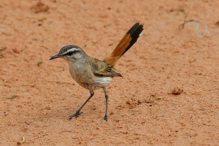 Kalahari Scrub-robin, Africa shutterstock_1047336832.jpg