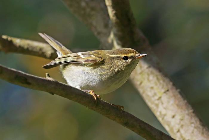 Yellow-browed Warbler, Yorkshire