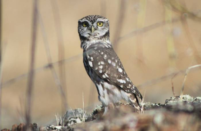 Little Owl  (Tom Mabbett)