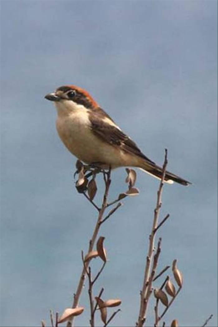 Woodchat Shrike (Alan Outen)
