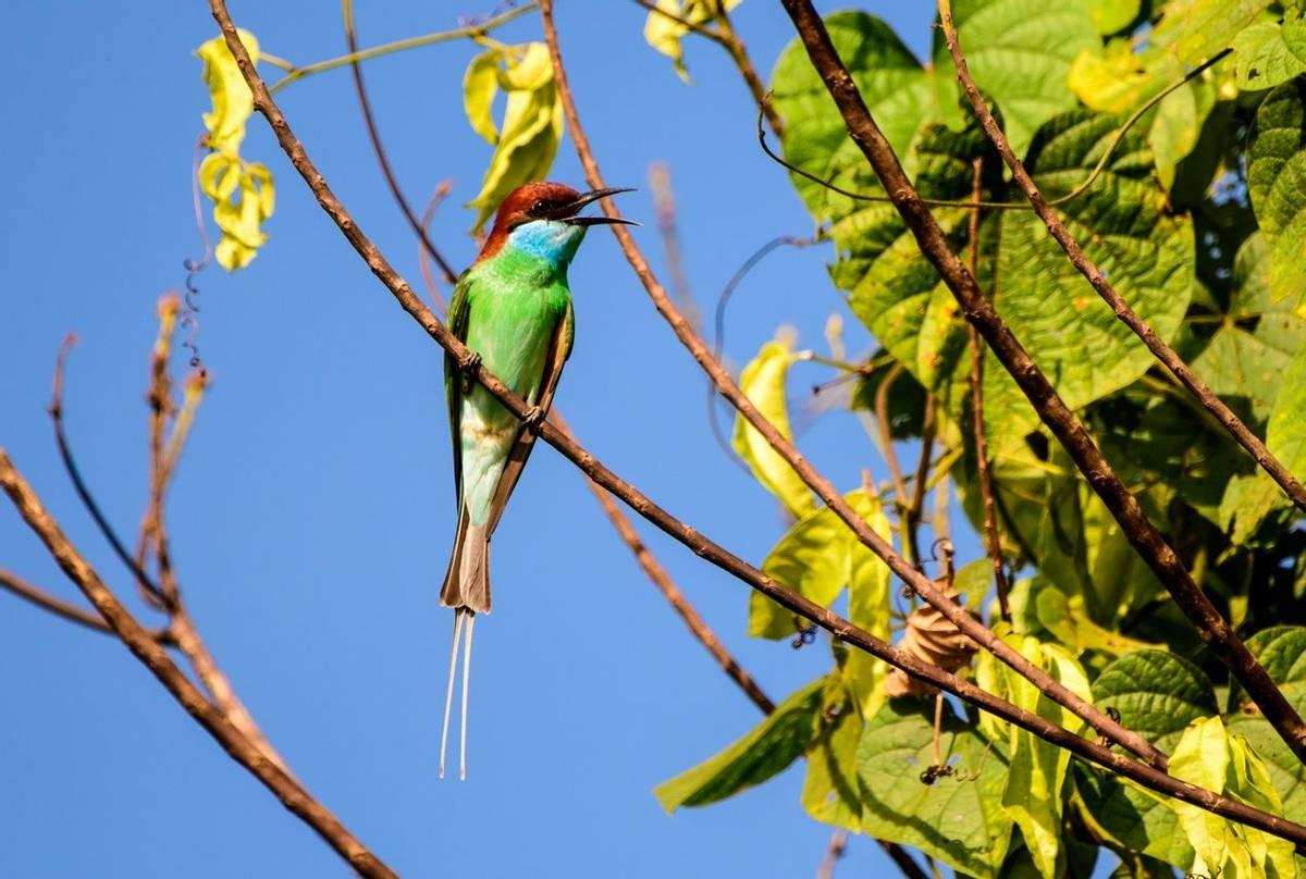 Blue-throated Bee-eater (Trevor Platt)