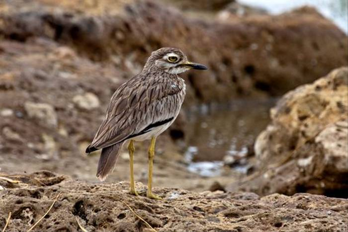 Senegal Thick-knee (Dani Free)