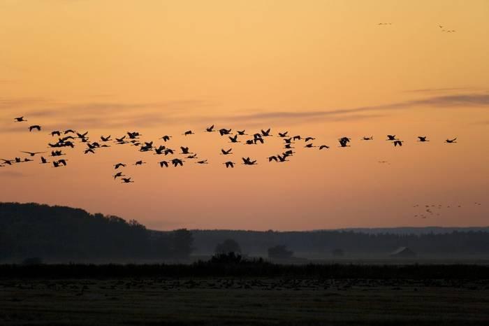 Common Cranes (Torbjorn Arvidsson).jpg