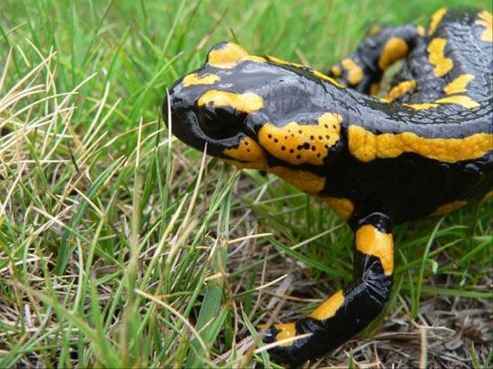 Fire Salamander (Nacho Zubelzu)