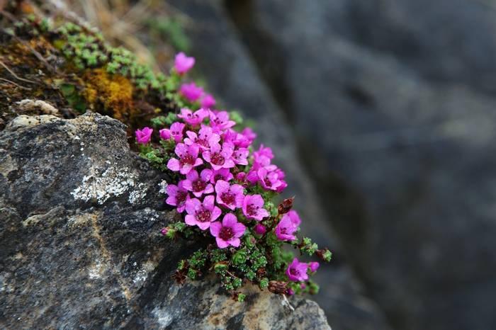 Purple-Saxifrage-shutterstock_188709068.jpg