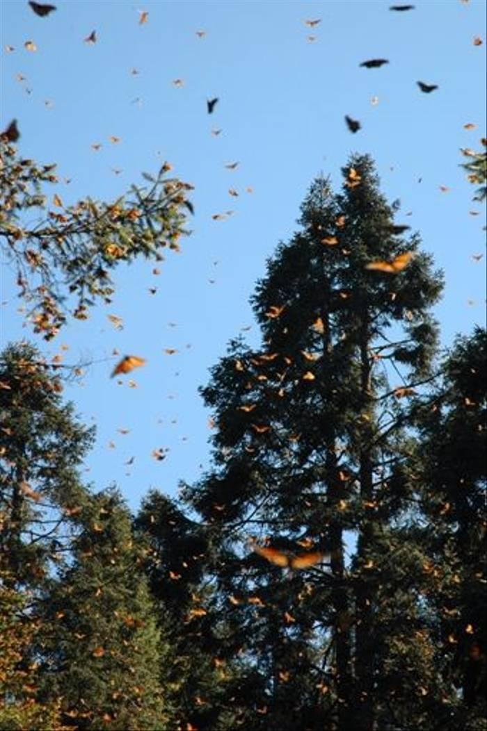 Monarch Butterflies (Paul Stanbury)