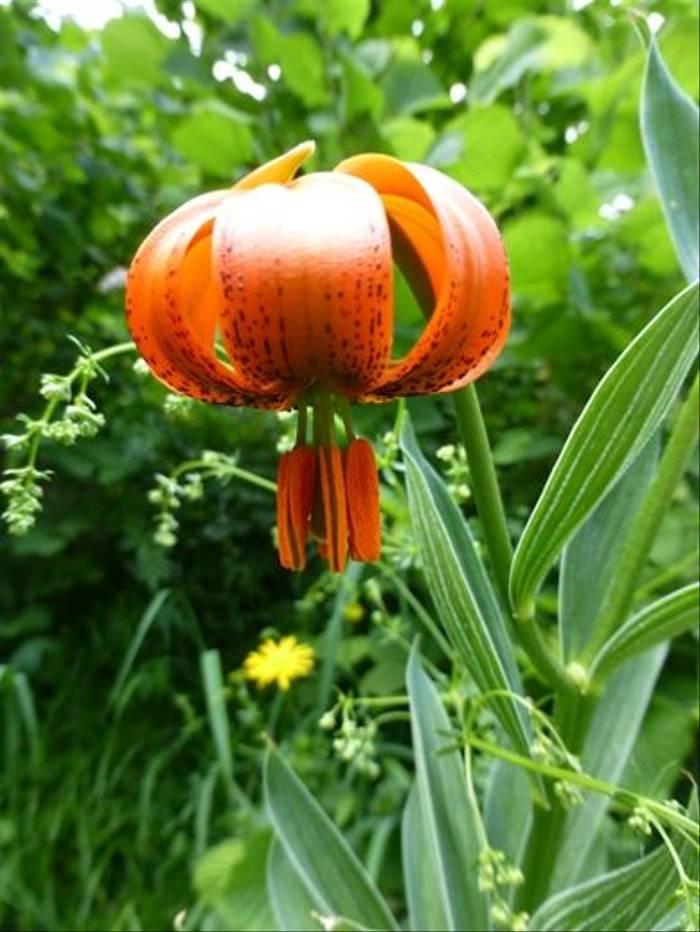 Carnic Lily