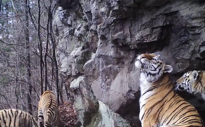 Tigress With Cubs, Durminskoye