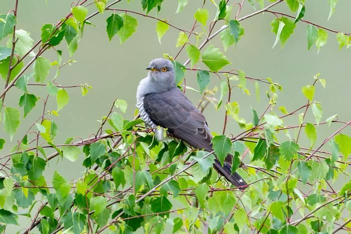 Common Cuckoo, UK shutterstock_1107902045.jpg