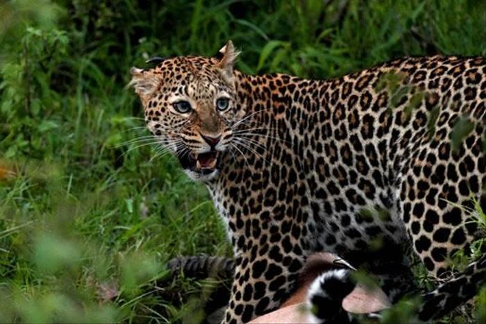 Leopard with Grant's Gazelle (Bret Charman)