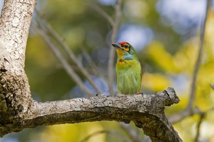Crimson Fronted Barbet, Sri Lanka Shutterstock 416204698