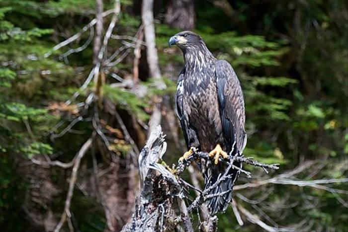 Immature Bald Eagle (Paul Stanbury)