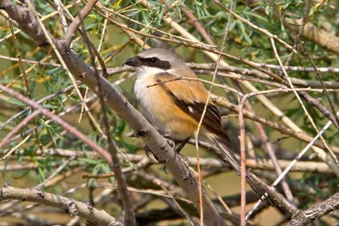 Long-tailed Shrike (Alan Curry)