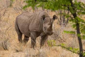 black rhinoceros (Simon Shore)