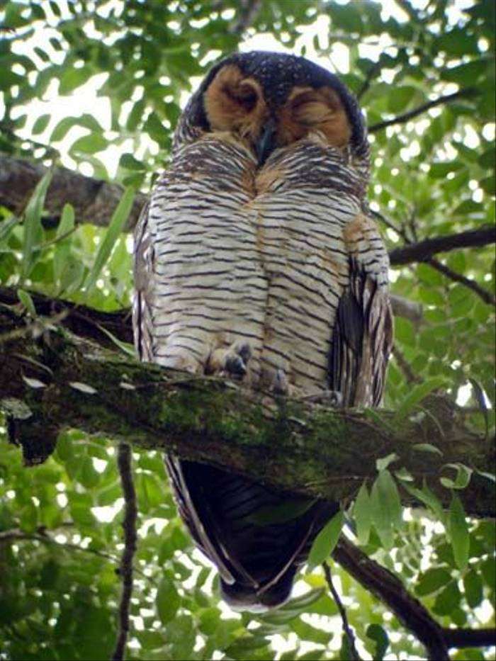 Spotted Wood Owl (Mike Galtry)