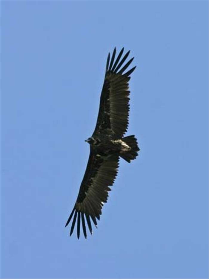 Black Vulture (Peter Dunn)
