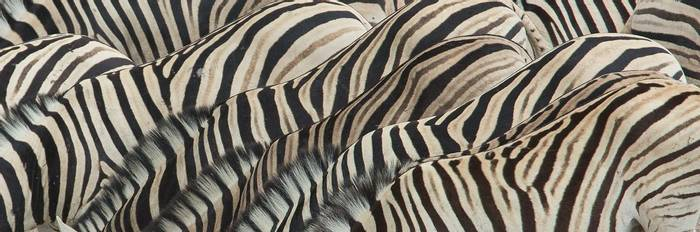 zebra abstract (Simon Shore)
