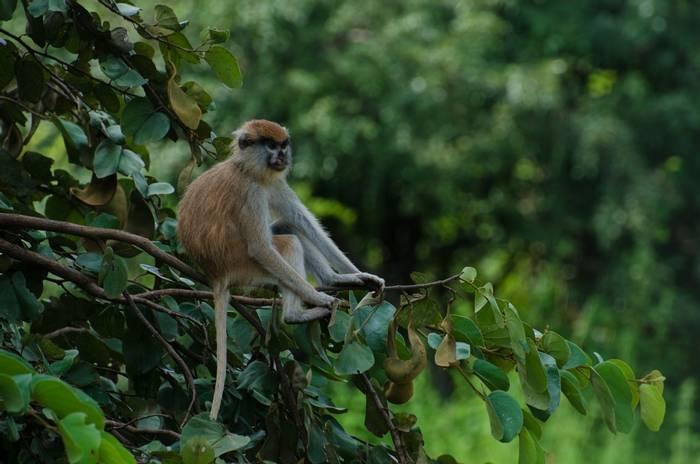 Patas Monkey, Mole National Park, Ghana shutterstock_1203233050.jpg