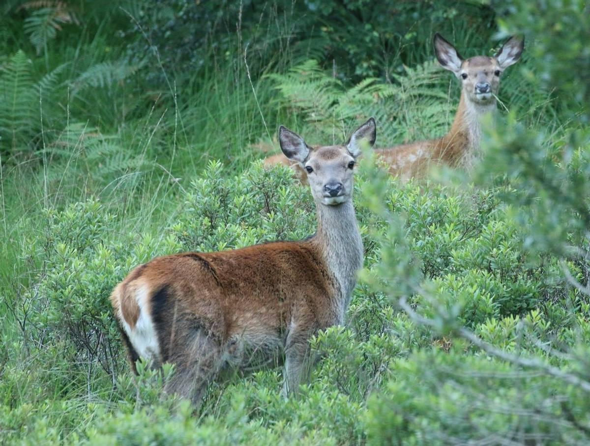 Red Deer (Martin Hancock)