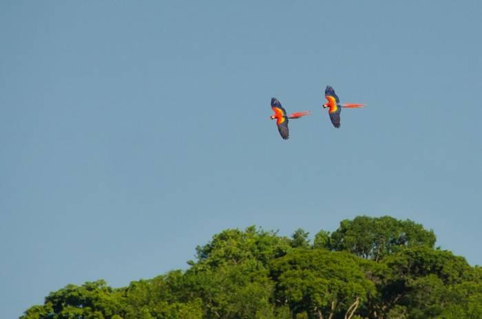 Scarlet Macaws. Tim Melling.