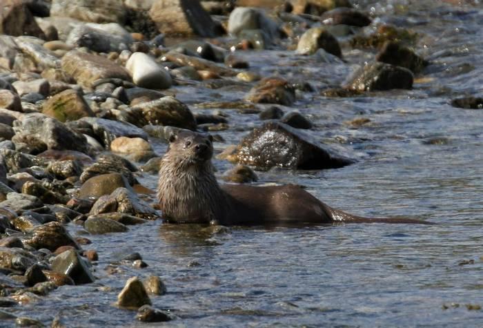 Otter (Matt Eade).JPG