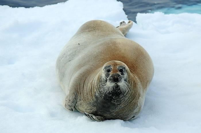 Bearded Seal (Bret Charman)