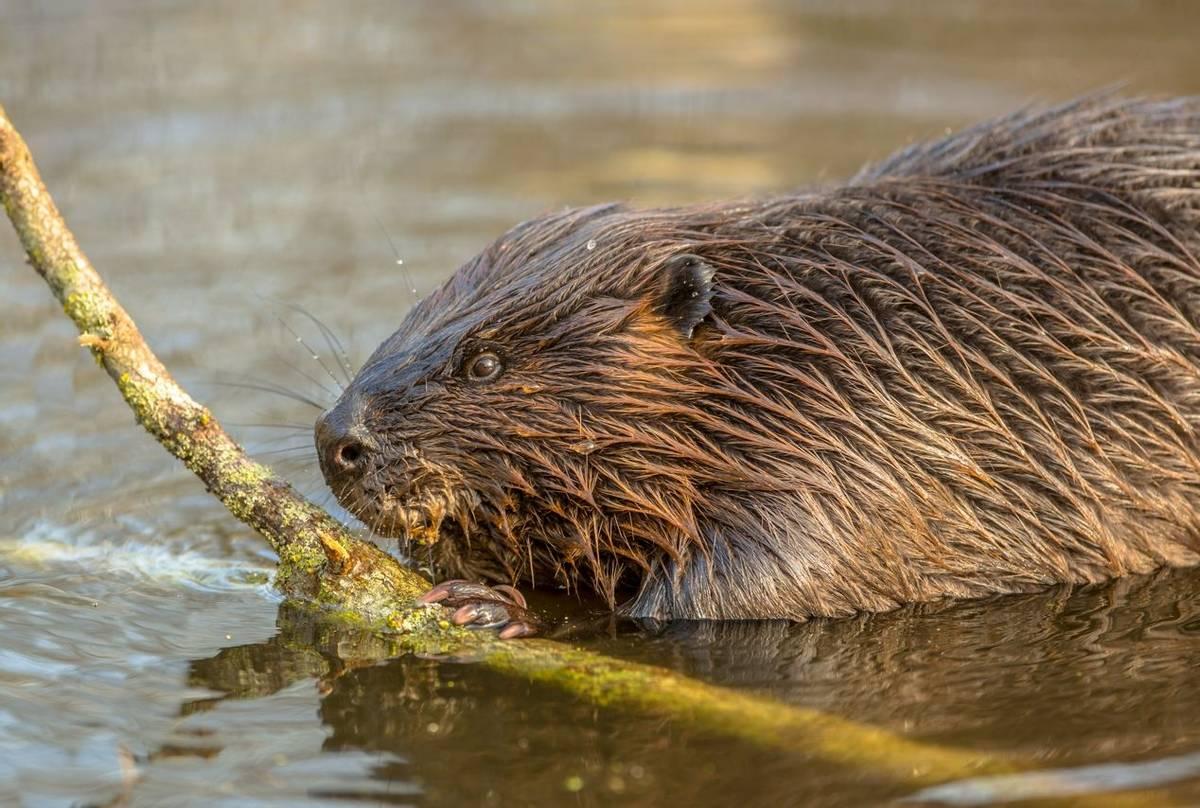 Eurasian Beaver shutterstock_586791968.jpg