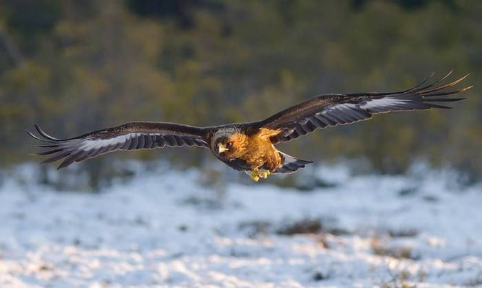 Golden Eagle (Zsombor Karolyi)