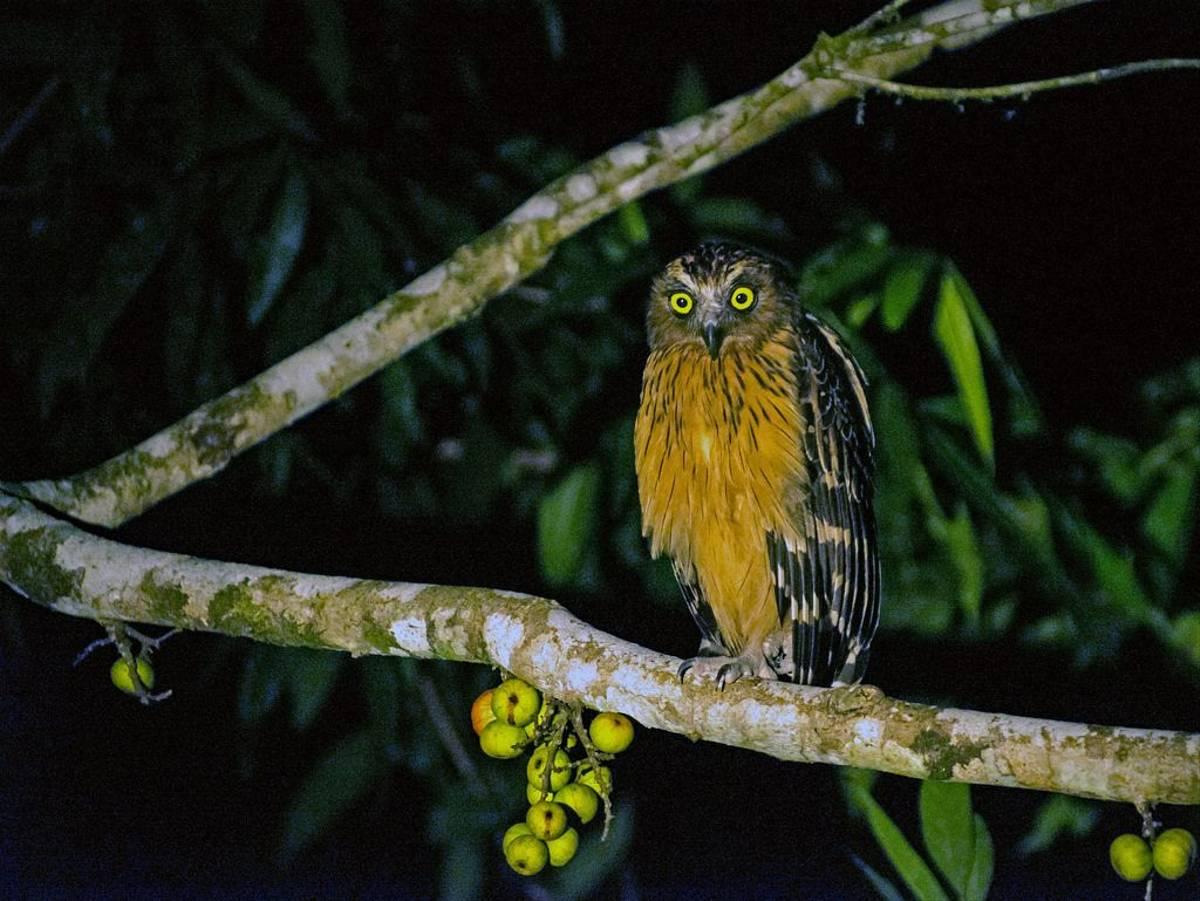 Buffy Fish Owl (Clive Turnbull)