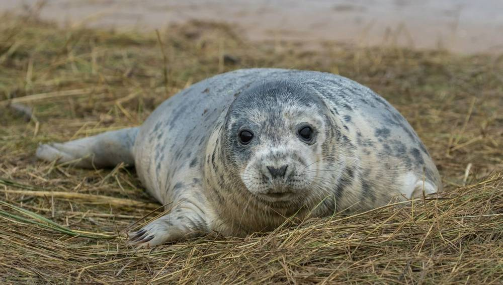 Grey Seal, Wildlife Holidays