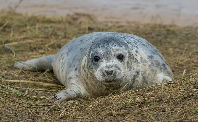 Grey Seal on a Grass Dune.