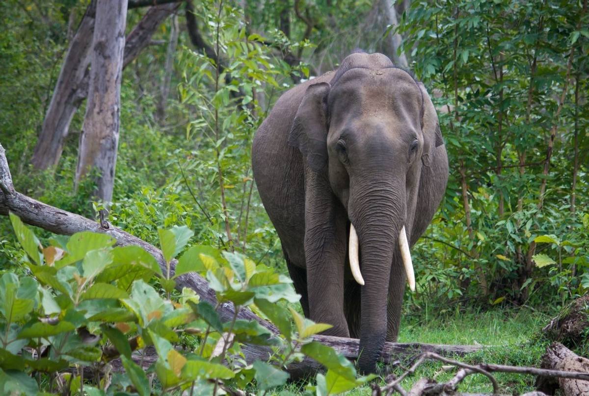 Indian Elephant, Nagarhole National Park