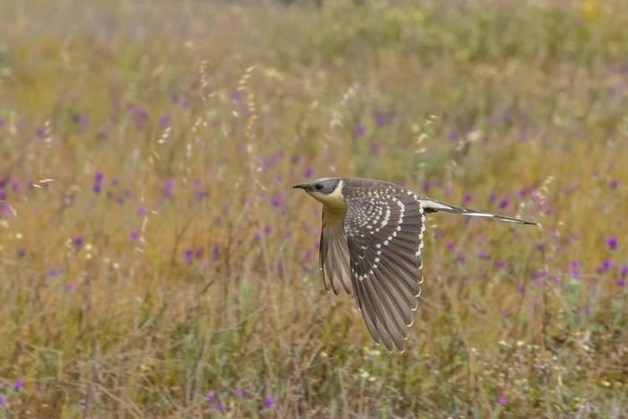 Great Spotted Cuckoo shutterstock_1470618098.jpg