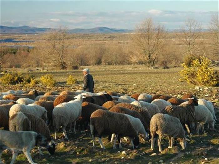 Local Shepherd