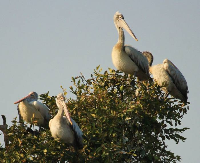 Spot-billed Pelicans, Cambodia shutterstock_1435269968.jpg