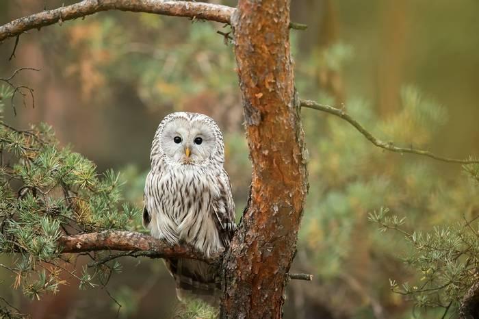 Ural Owl Shutterstock 502430098