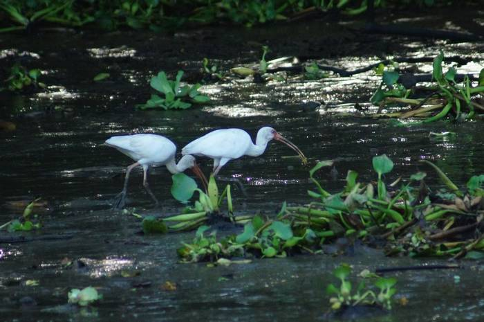 White Ibis (Brian West)