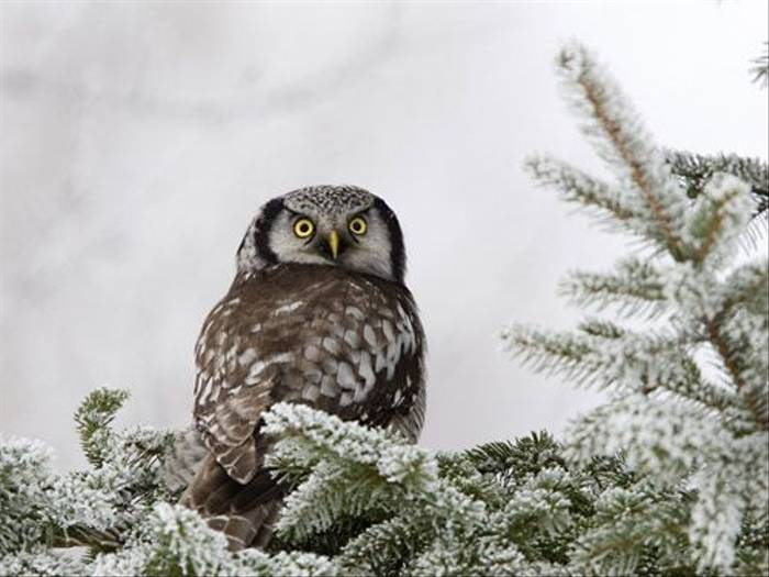 Hawk Owl (Glyn Sellors)