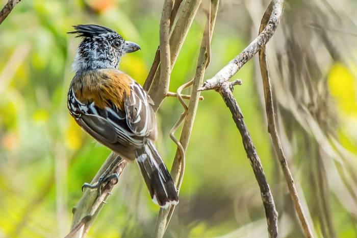 22 Black-crested Antshrike by Ferney Salgado
