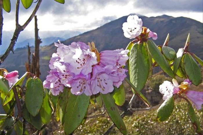 Rhododendron sp., Bhutan