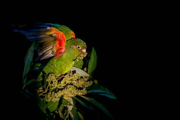 Santa Marta Parakeet by Ferney Salgado