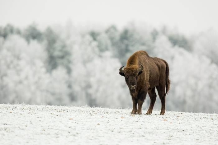 European Bison, Poland Shutterstock 796348699