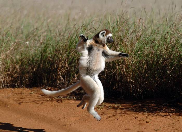 Verreaux'S Sifaka, Madagascar (Bob Ascott)