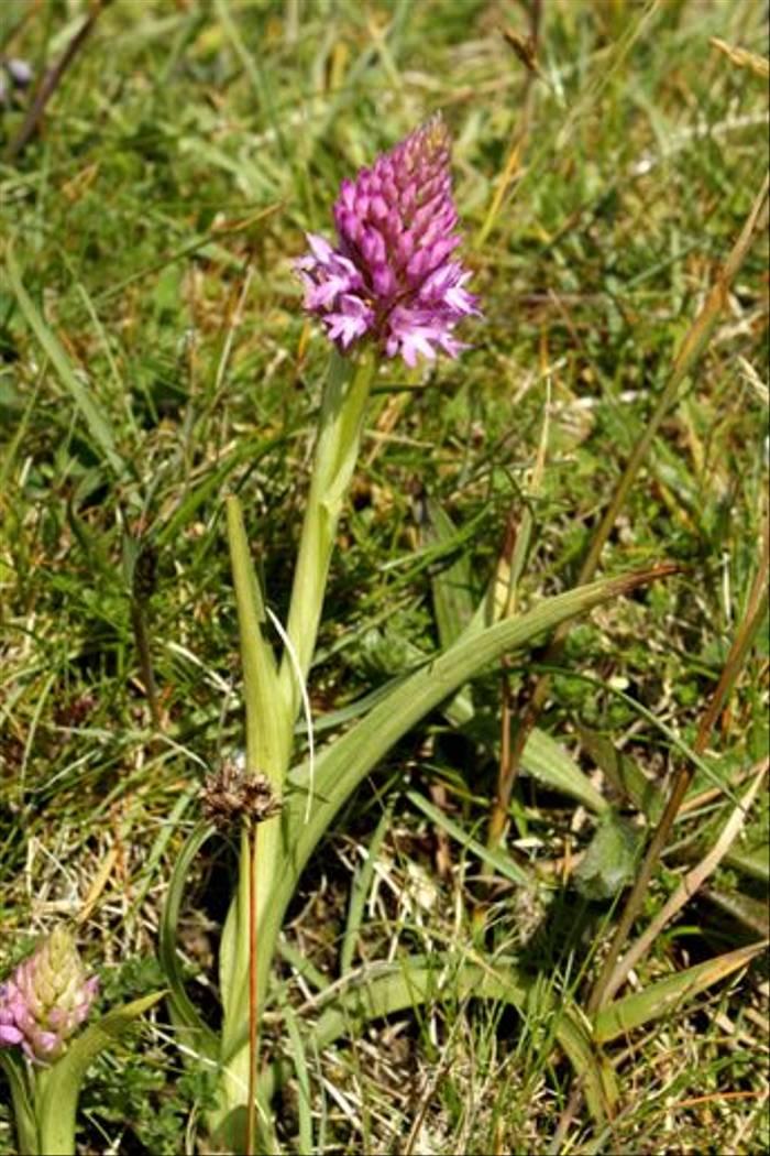 Pyramid Orchid (Maureen Ponting)