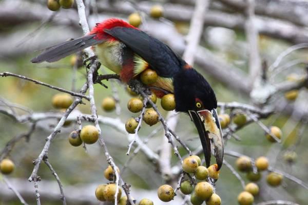 Aracari (Peter Dunn)