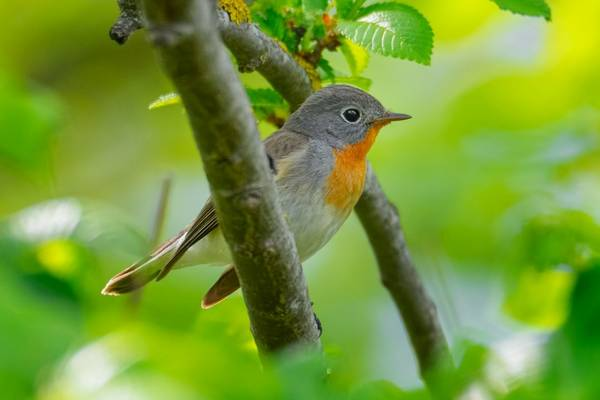 Red-breasted Flycatcher shutterstock_1734831512.jpg