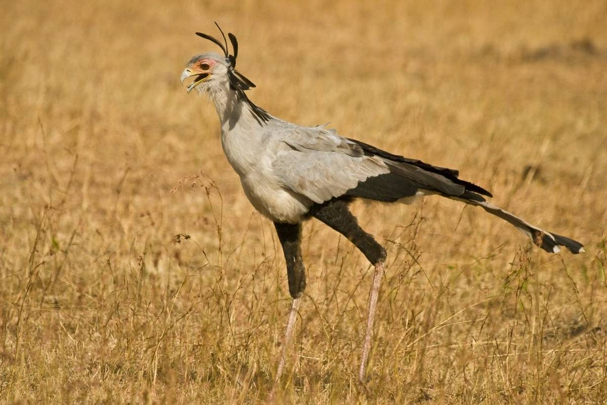 Masai Mara, Secretary Bird