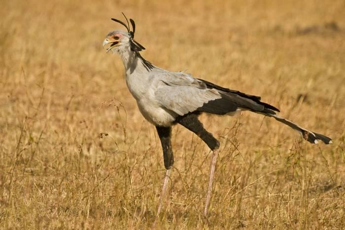 Masai Mara, Secretary Bird