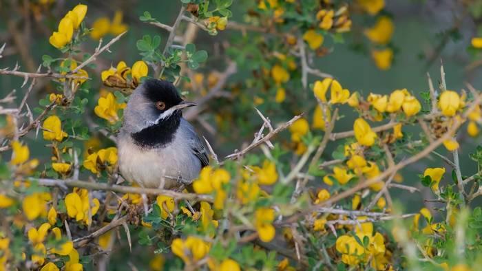 Rüppell's Warbler, Turkey shutterstock_1803793087.jpg